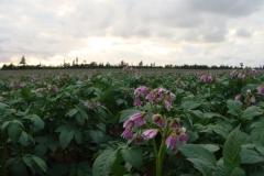 potato-fields-2011-015